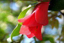 Photo of Leyendas que rodean a nuestras bellas flores nacionales