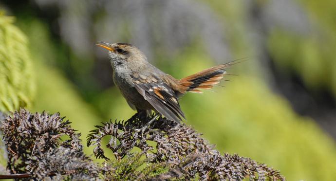 Photo of Aves endémicas de Chile