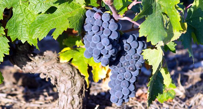 Photo of Carménère: un vino chileno único