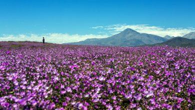 Photo of Desierto florido: ¿Cómo se produce este fenómeno de la naturaleza?