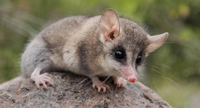 Photo of Marsupiales y roedores de Chile