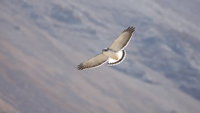 Photo of Birdwatching en Chile: Descubre algunas de nuestras aves chilenas