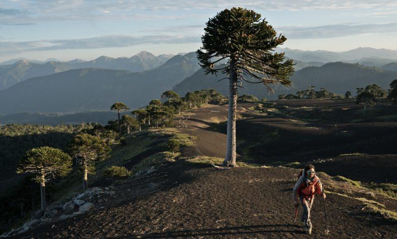 Photo of Todo lo que debes saber de la Araucaria, el árbol nacional de Chile